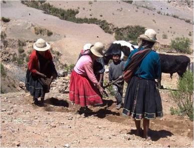 Labranza - tracción animal en Bolivia